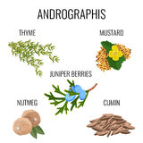 Andrographis ayurvedic herbs poster. Thyme branch, mustard seeds, juniper berries Royalty Free Stock Image