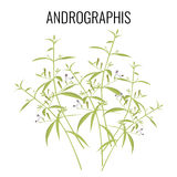 Andrographis flowering plant isolated on white background. Royalty Free Stock Photo