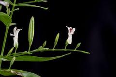 Andrographis paniculata (Burm.f.) Nees,tree. Royalty Free Stock Photo
