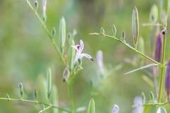 Andrographis Paniculata Kariyat, leidt tot Stock Afbeeldingen