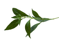 Andrographis paniculata Wall ex Ness Royalty Free Stock Images
