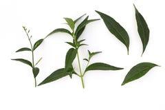 Andrographis paniculataväxt, växt- för Andrographis paniculatagräsplan som isoleras på vit bakgrund royaltyfri fotografi