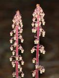 Andromedea för skogsmark Pinedrops - Pterospora Arkivfoton