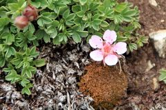 Androsace-alpina - Dolomit ` s rosa wilde Blumen stockbilder