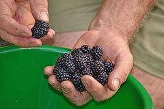 Ands collecting black berries Royalty Free Stock Photo