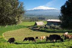 Andscape with livestock and snowy volcano etna. Rural landscape with livestock and snowy volcano etna stock photo