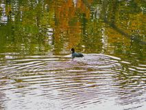 Andsimning på en sjö nära Tirana, Albanien royaltyfria foton