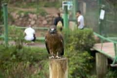 Andyjski Eagle Zdjęcie Royalty Free