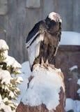Andyjski kondor Zdjęcia Royalty Free