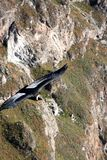 Andyjski kondor obraz stock