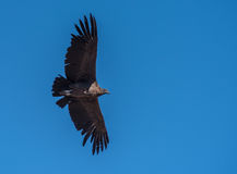 Andyjski kondor, krajowy symbol Peru Zdjęcia Stock