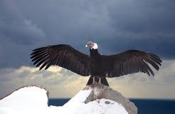 Andyjski kondor na skale Zdjęcia Royalty Free