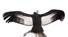 Andyjski kondor. Odizolowywający nad biel Fotografia Royalty Free