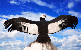 Andyjski kondor przeciw niebu Zdjęcia Royalty Free