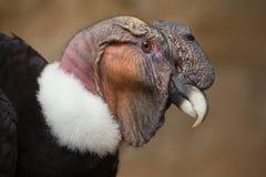 Andyjski kondor & x28; Vultur gryphus& x29; Fotografia Royalty Free
