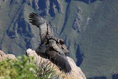 Andyjski kondor w Colca jarze Fotografia Royalty Free