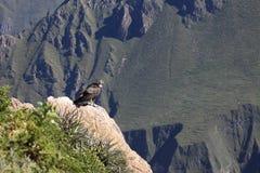 Andyjski kondor w Colca jarze Obrazy Royalty Free