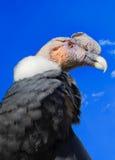 Andyjski kondor, Wenezuela Zdjęcia Royalty Free