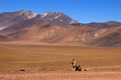 Andyjski lis, lycalopex culpaeus, także znać jako zorro culpeo pustynia atacama chile obraz stock