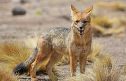 Andyjski lis w Siloli pustyni Bolivia zdjęcie stock