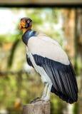 Andyjski sęp lub królewiątko myszołów fotografia royalty free