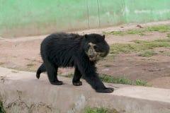 Andyjski Spectacled niedźwiedź Zdjęcia Stock