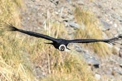 andyjskiego kondora gryphus latin imienia vultur Fotografia Royalty Free