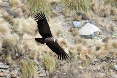 andyjskiego kondora gryphus latin imienia vultur Zdjęcia Stock