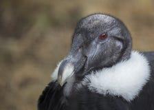 Andyjskiego kondora Vultur gryphus zdjęcia royalty free