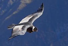 Andyjskiego kondora Vultur gryphus południe - amerykański ptak w Nowego światu sępa rodzinie, Colca jar, Arequipa region, Peru obrazy royalty free