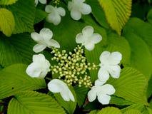 Anel das flores Foto de Stock Royalty Free