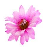 Anel de noivado do diamante na flor da camomila do rosa quente isolada foto de stock royalty free