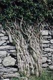 Anel de videiras antigas do Kerry no castelo de Ballycarberry fotografia de stock royalty free