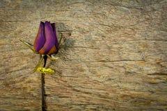 Anel e rosas secas obscuras na textura de madeira, amor seco no Valentim, foco seleto Imagem de Stock Royalty Free