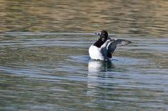Anel-Necked esticando suas asas ao descansar na água imagem de stock