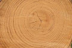 Anelli di anno in un albero Immagini Stock