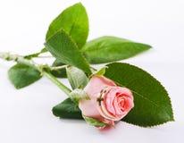 Anelli di cerimonia nuziale su una rosa Immagini Stock Libere da Diritti