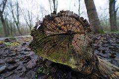 Anelli di un albero Immagine Stock Libera da Diritti