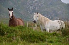 Anello dei cavallini di Kerry immagine stock libera da diritti