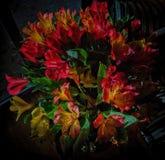 Anello di fuoco--Alstroemeria nel Sun di pomeriggio Fotografie Stock