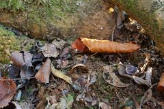 Anello nella terra in una foresta di inverno immagini stock libere da diritti