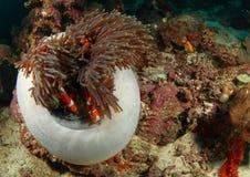 anemon ψάρια κλόουν Στοκ εικόνα με δικαίωμα ελεύθερης χρήσης