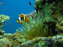 anemon Στοκ Εικόνα