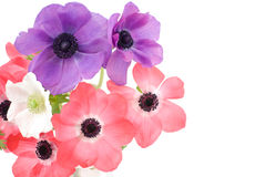 anemon Fotografia Stock