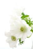 anemon Fotografia Royalty Free