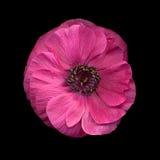 anemon zdjęcie royalty free