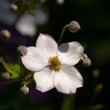 anemon zdjęcie stock