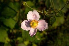 anemon obrazy stock