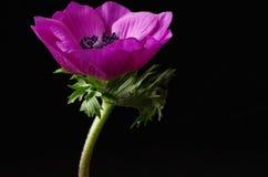 anemon obrazy royalty free