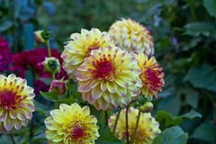 Anemon-blommad dahliablomma Fotografering för Bildbyråer